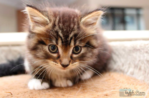 Gus rescue KITTEN to adopt VET WORK INC Clarkson Wanneroo Area Preview