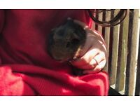 2 sister guinea pigs 6 months old