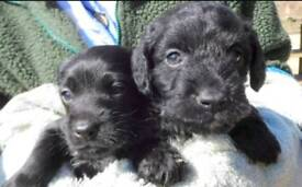 King Charles / poodle puppies