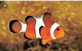 2x clown fish and Fire shrimp