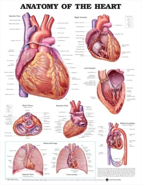 ANATOMY OF THE HEART POSTER (66x51cm) ANATOMICAL CHART HUMAN BODY MEDICAL DOCTOR