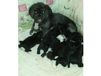 Adorable Shih tzu black male puppies for sale