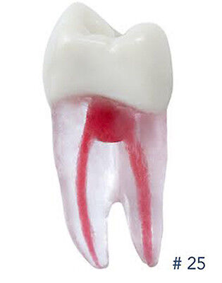 Dental Endodontic Teeth Tooth With Root For Endodontic Practice 25 Artmed