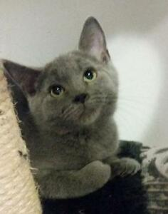 "Baby Female Cat - Domestic Short Hair-gray: ""Paulie"""