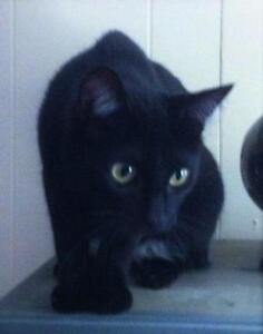 "Young Female Cat - Domestic Short Hair-black: ""ONYX"""