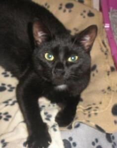"""Young Female Cat - Domestic Short Hair: """"Missy 16 (Brownsville)"""""""