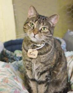"Adult Female Cat - Domestic Short Hair: ""Julia"""