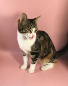"Young Female Cat - Domestic Short Hair: ""Ella"""