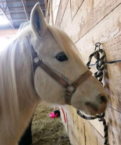 15 year old Arabian mare