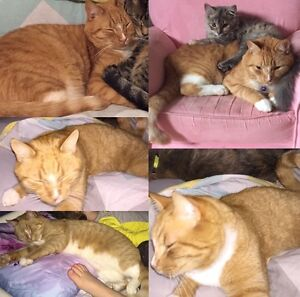 MISSING: orange tabby in New Maryland area
