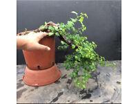 Cascade style Hawthorn bonsai