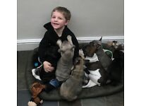 Child friendly KC Reg French Bulldogs
