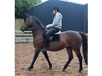 STUNNING 16.2hh FOR PART LOAN