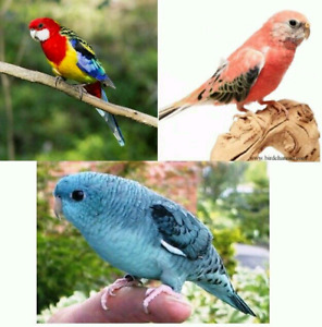 Rosella, Bourke or Linnie Parrot/Parakeet WANTED