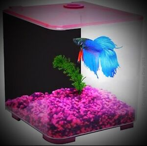 Fighting fish Betta Free Christmas   with purchase tank Cabramatta West Fairfield Area Preview