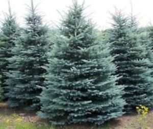 Real Christmas Trees! Colorado Blue Spruce and Scots Pine