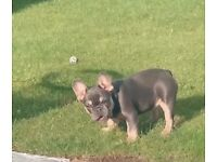 French Bulldog Puppy Kc Registered