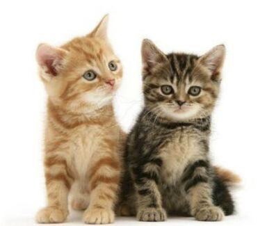 Gumtree Free Cats Melbourne