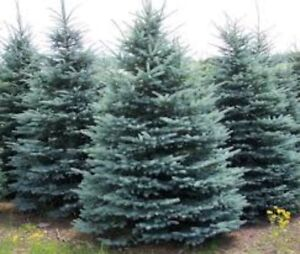 Blue Spruce Christmas Tree $10 a foot.  FREE DELIVERY!