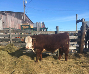 Yearling Polled Hereford Bulls