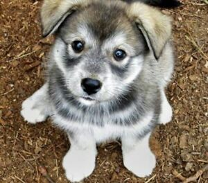 LF: female husky mix pup to complete our family