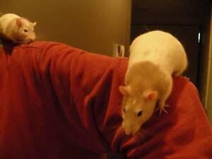 Two Gorgeous Pet boy Rats, $20 each South Melbourne Port Phillip Preview