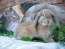 Young/Baby Mini Lop, Beige Otter boy Essendon Moonee Valley Preview
