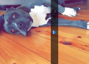 BLUE STAFFY 4.5 years old female dog Sunbury Hume Area Preview