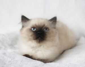 Seal Point Himalayan Male Kitten for Rehoming