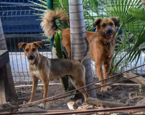 Young Dogs - Bonded Pair Looking for Home!