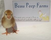 Beau Peep Farms - Available Pullets as of Aug 29, 2015