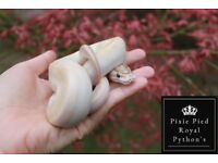 Ivory Royal Python