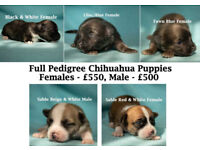 5 FULL PEDIGREE CHIHUAHUA PUPPIES FOR SALE