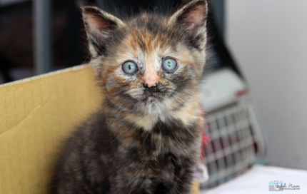 Tilly rescue KITTEN to adopt VET WORK INCLUDED