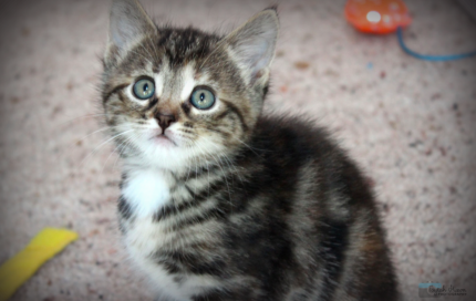 Lilly rescue KITTEN to adopt VET WORK INCLUDED