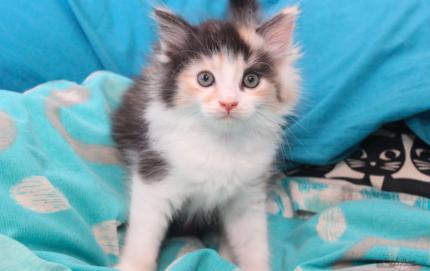 Yuki rescue KITTEN to adopt VET WORK INCLUDED