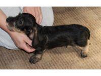 Miniature Wire Haired Dachshund Dog Puppy