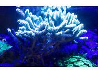 Marine Coral Sps Seriatopora Guttat