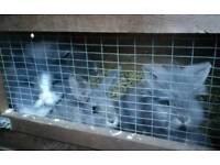 Lion head rabbits