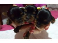 yorkshire terriere puppies