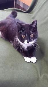 """Senior Male Cat - Domestic Short Hair: """"Penguin"""""""
