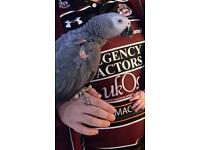 African grey with cage food and toys.