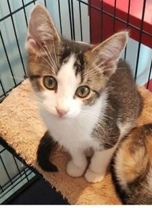 """Baby Male Cat - Domestic Short Hair: """"William"""""""