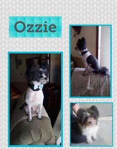 "Young Male Dog - Poodle: ""Ozzie"""