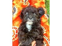 Gorgeous Cavapoo Pup - one boy remaining