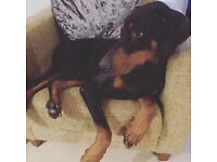 Beautiful Dobermann for re-homing 2 years old