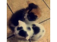 2 Mixed Breed Kittens