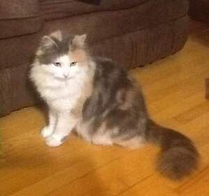 Female Calico Cat For a Great Home