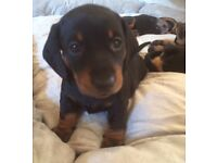 Gorgeous smooth haired dachshund puppies for sale.