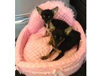 2 chihuahua X Pomeranian girl puppies